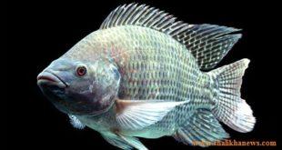 তেলাপিয়া মাছ ক্যান্সারের ঝুঁকি বাড়ায়